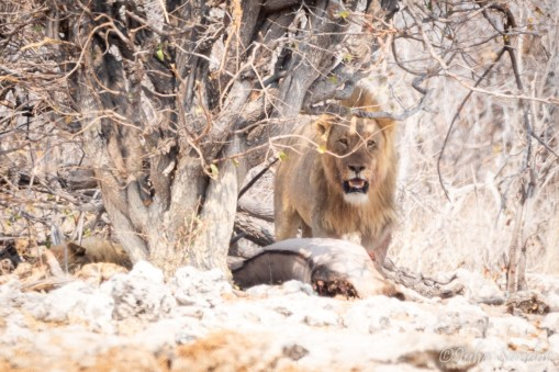 Lion looking after his prey - an oryx he has just caught