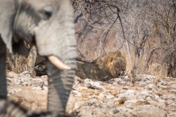 Male lion in the shade - after a successful hunt