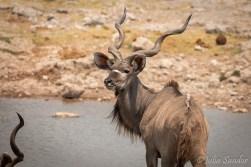 Male kudu observing us