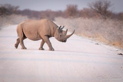 Just minutes after observing the black rhino at the waterhole another one appears in front of us