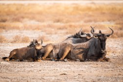 Wildebeest resting - with a young one