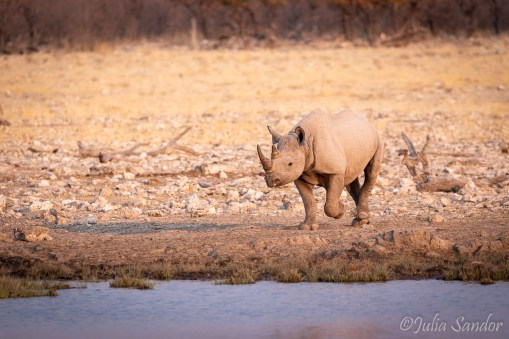 Young rhino approaching the waterhole in the afternoon sun