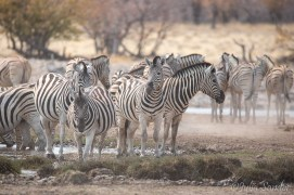 Hundreds of Zebras gathering at the waterhole