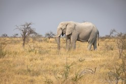 Elephant in the afternoon Sun in Etosha