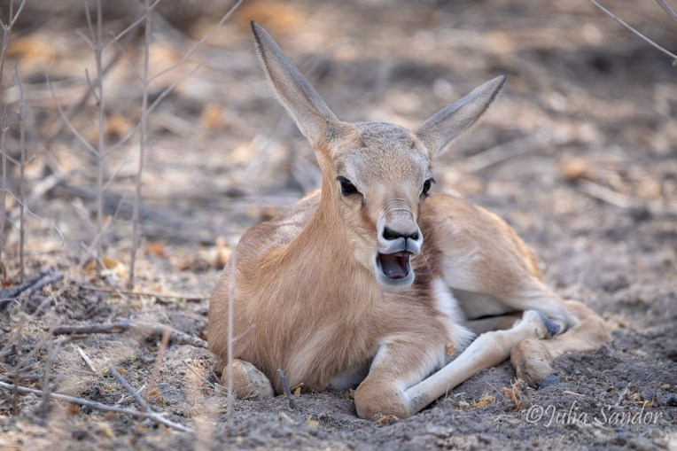 Baby springbock hiding in the bush - getting ready for its afternoon nap in the Kalahari
