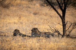 Lazy afternoon - cheetahs waiting to cool down for the next hunt