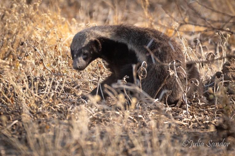 Honey badger digging in the sand
