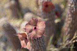 Cactus flower on Kubu Island