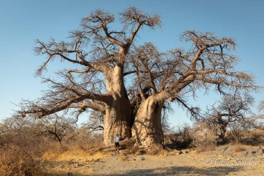 How old can this baobab tree be...?!