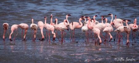 Flamingos feeding in Walvis Bay