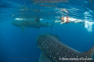 swimming with whale sharks7
