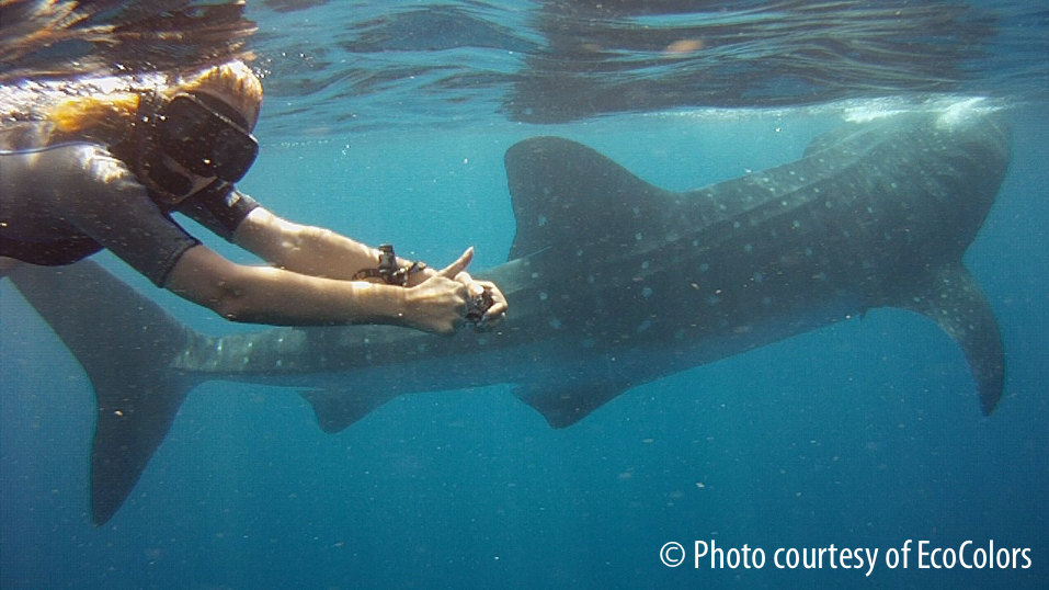 Swimming with Whale Sharks, Cancun, Mexico