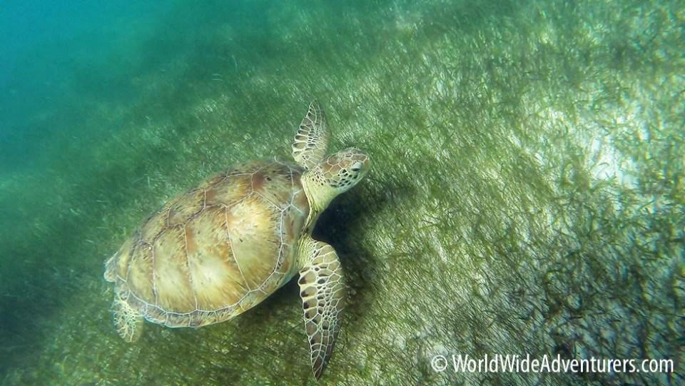Green Sea Turtles, Akumal Beach, Mexico