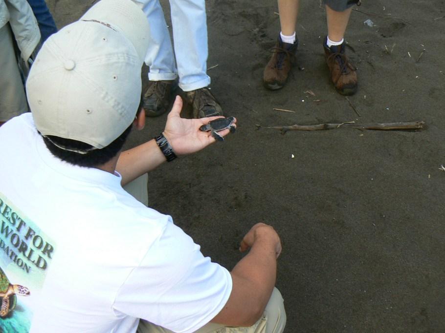 Naturalist showing baby turtle hatch