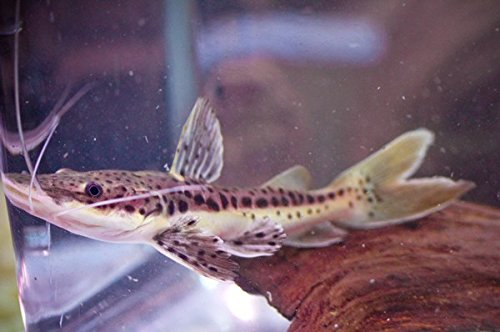 Hybrid RedTail Shovelnose Catfish