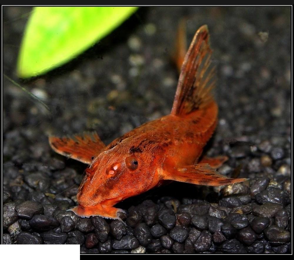 Red Lizard Fish