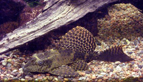 "Leopard/Sailfin Pleco (gibbiceps) 3.5""-4.5"""