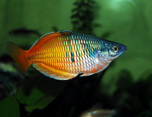 boesemans Rainbow