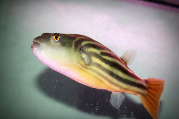 Fahaka Puffer Fish
