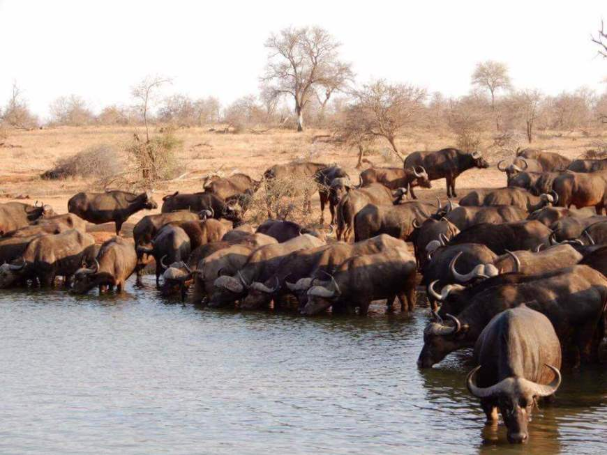 herd of buffalo in the water