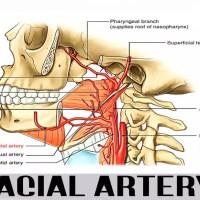 artèria facial