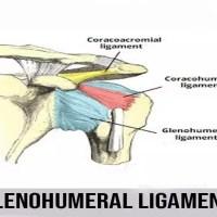 Glenohumeral Ligament