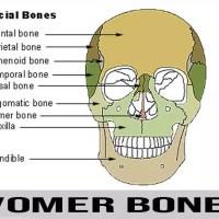 Vomer Bone