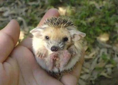 yoda-hedgehog-floppy-ear