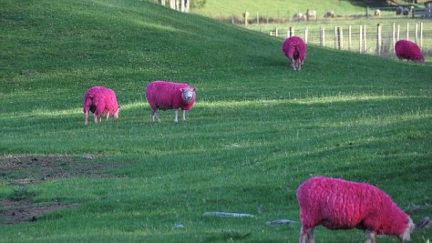 Pink Sheep by Solent News & Photo Agency