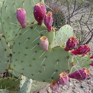 Heart Shaped Prickley Pear Cactus Pad