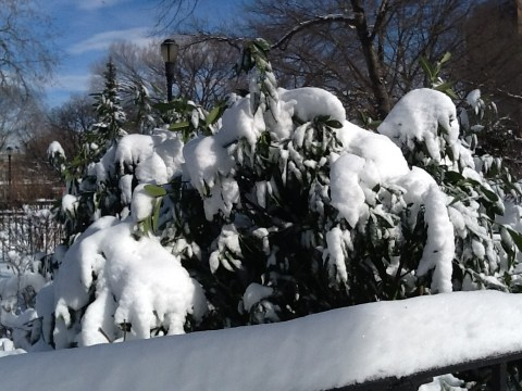 Snow Burdened Tree