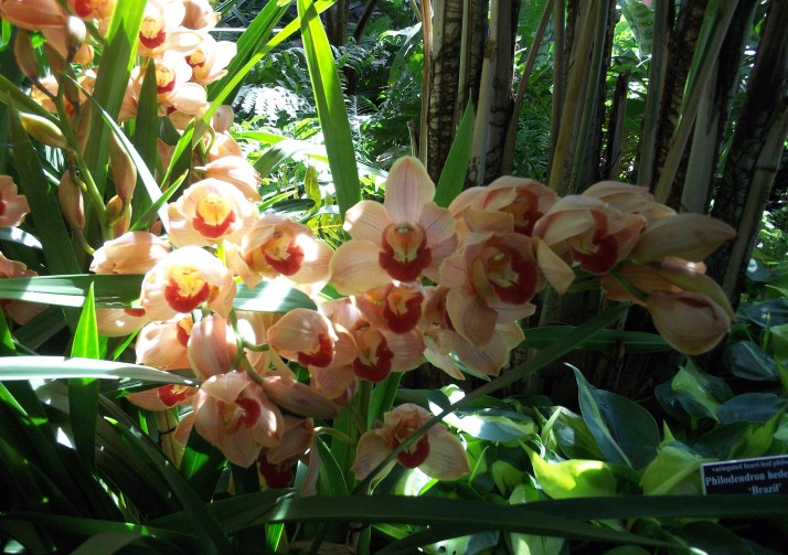 Peach Colored Orchids