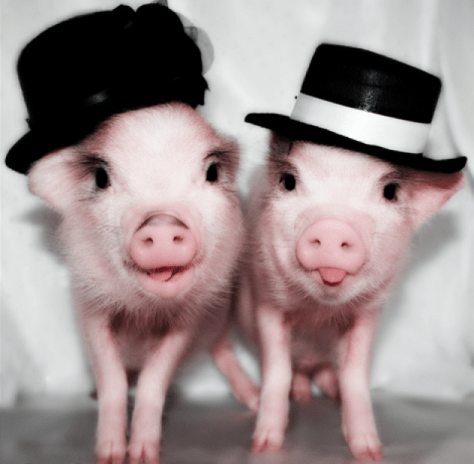 Pigs in Hats
