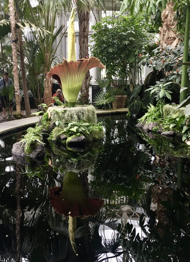 Corpse Flower From Right with Reflection