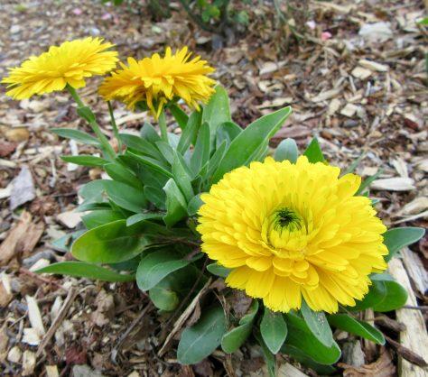 Yellow Chrysanthemums