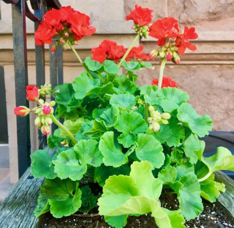 red geraniums photo by gail worley