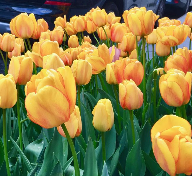 golden tulips photo by gail