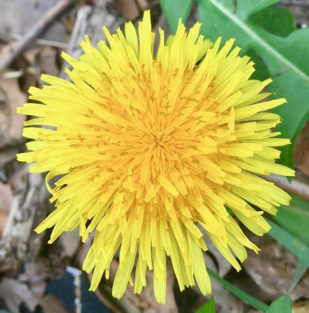dandelion bloom photo by gail worley