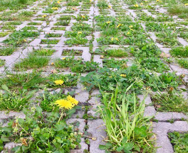 dandelion field in concrete photo by gail worley