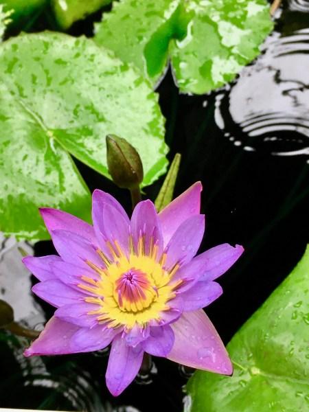 purple lotus photo by gail worley
