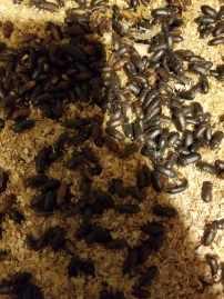 Mealworm Beetles