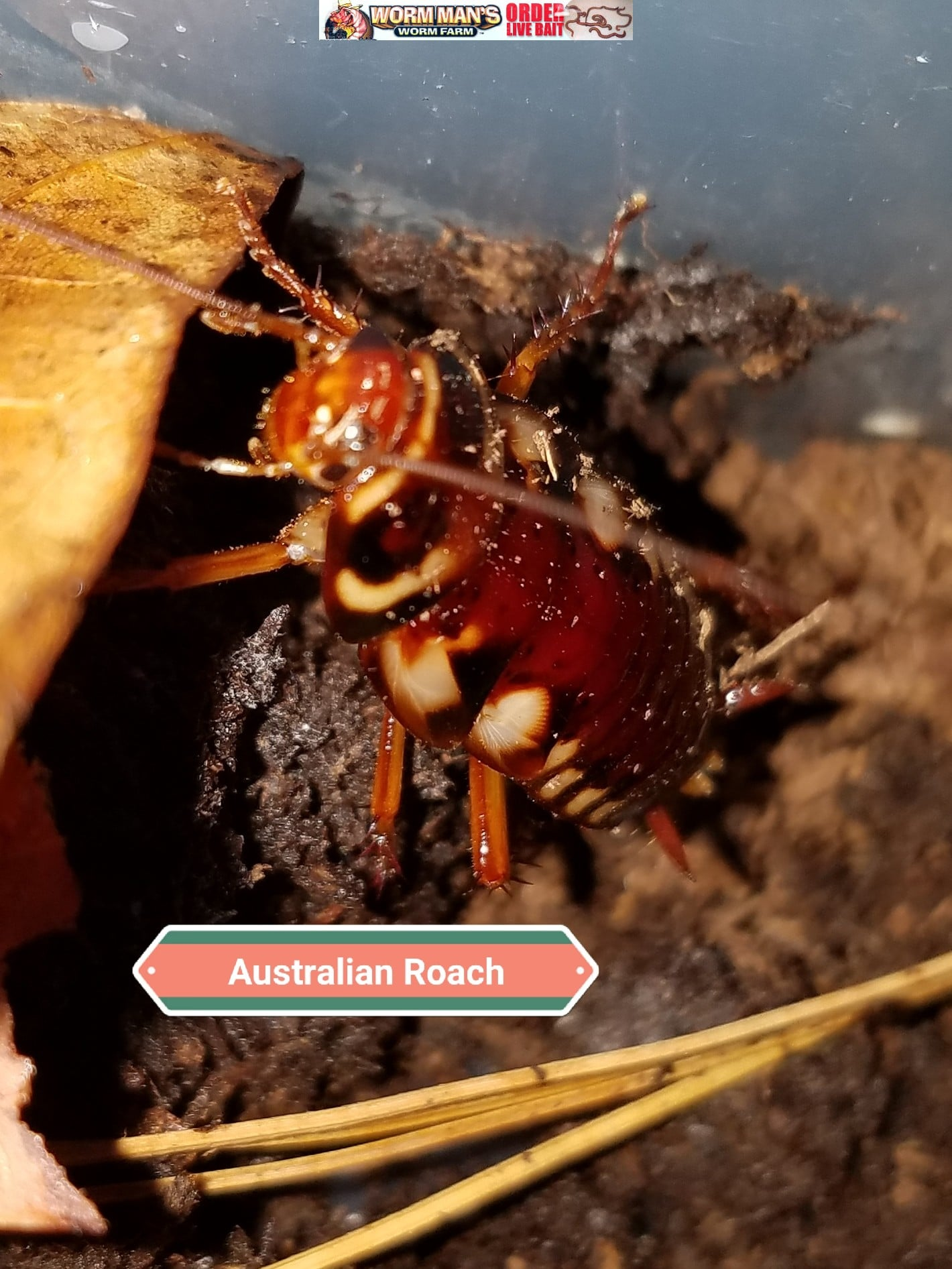 dubia sale for roaches nutrition insect online feeder vs other insects