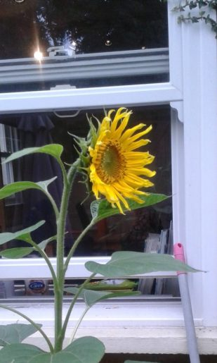 sunflower from seed at blessing garden service, UK