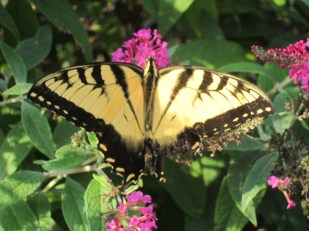 butterfly along highway, North Carolina - by Ana Gobledale
