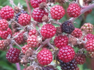 Wild berries, Wiltshire, UK - Ana Gobledale, UK