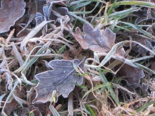 Dry leaves on a frosty morning, Cumbria UK -- Ana Gobledale