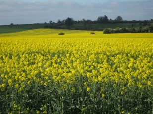 Rapeseed fields, Wiltshire UK -- by Ana Gobledale