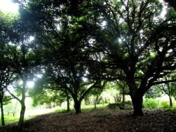 In einem Wald von Mangobäumen