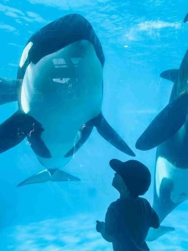 SeaWorld San Diego orca whales