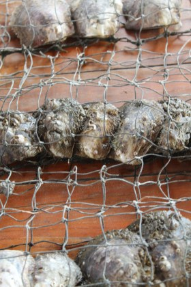 Oysters waiting to be seeded for pearls